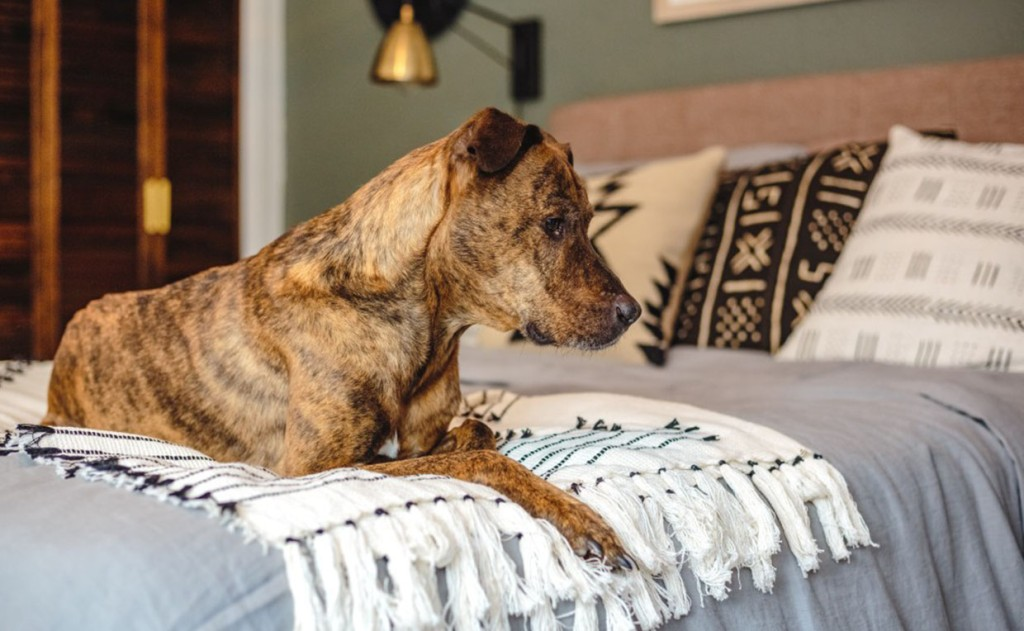 Dog on blanket at the foot of bed with Shoal Creek Headboard